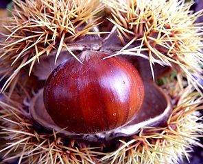 Chestnuts are a common feature of Autumn (Courtesy of Wikimedia Commons)